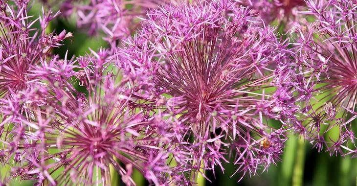 Allium 'Purple Rain' LOS