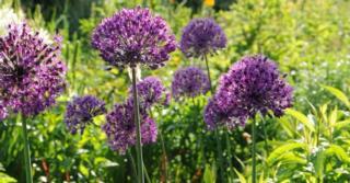 Allium aflatunense 'Purple Sensation' LOS