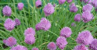 Allium schoenoprasum (BIESLOOK)