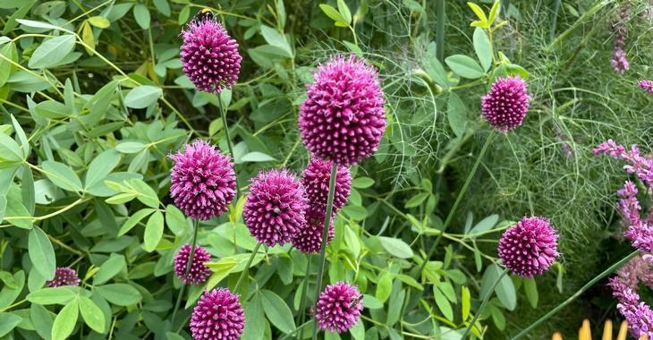 Allium sphaerocephalon  LOS