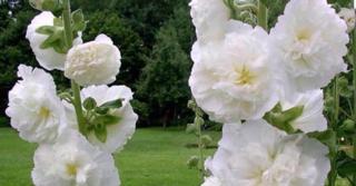 Alcea rosea 'Charters Weiss'