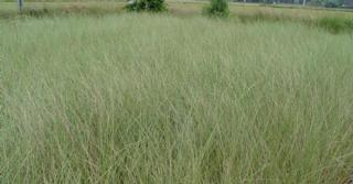Ammophila arenaria - BRILLEN !