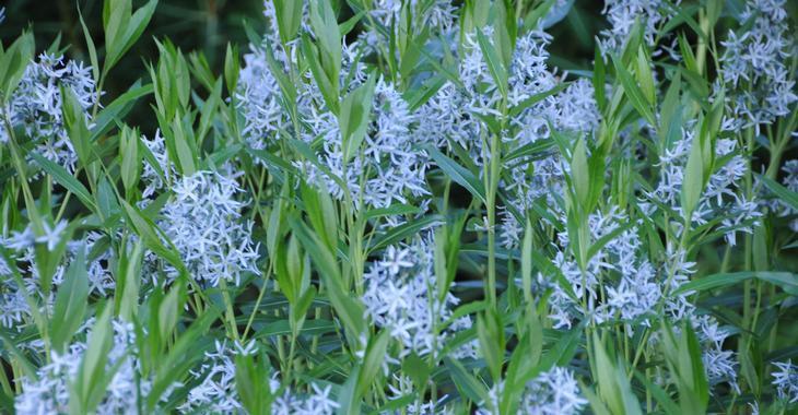 Amsonia tabernaemontana JS® 'Stella Azul'