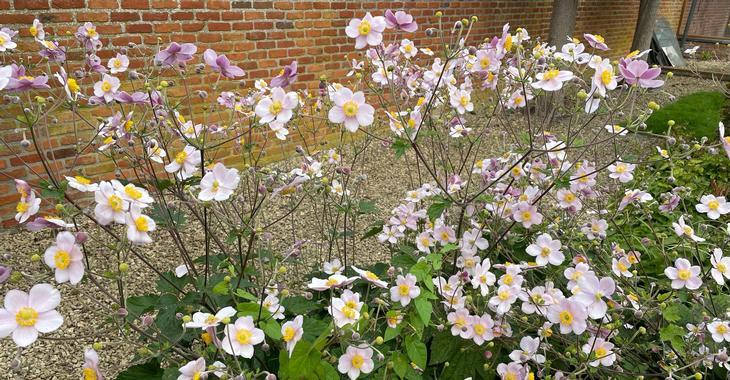 Anemone hybrida (x) JS® 'Cloudy Abundance'