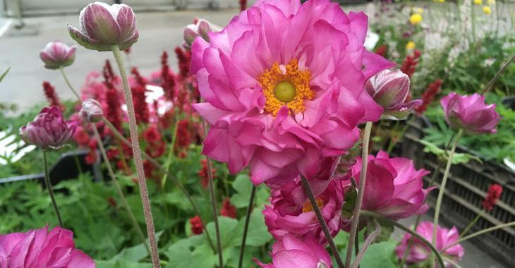 Anemone hybrida (x) 'Carmen'