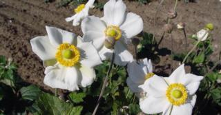Anemone hybrida (x) 'Coupe d'Argent'