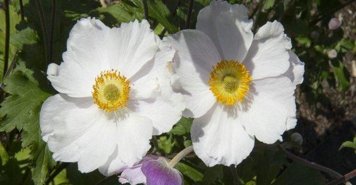 Anemone hybrida (x) 'Dreaming Swan'