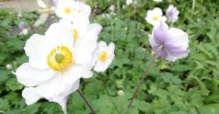 Anemone hybrida (x) 'Elfin Swan'