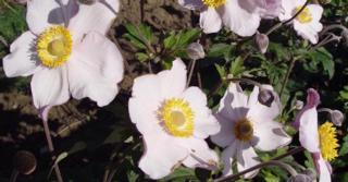 Anemone hybrida (x) 'Hadspen Abundance'