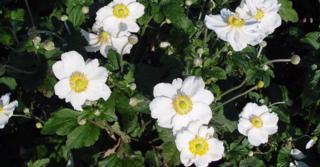 Anemone hybrida (x) 'Honorine Jobert'