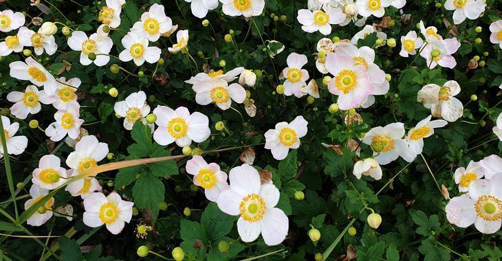 Anemone hupehensis 'Pretty Lady Maria'