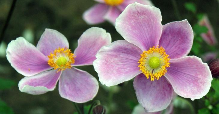 Anemone hupehensis 'Pretty Lady Susan'