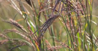 Andropogon gerardii JS® 'Red Arrow'