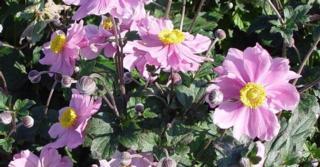 Anemone hybrida (x) 'Serenade'