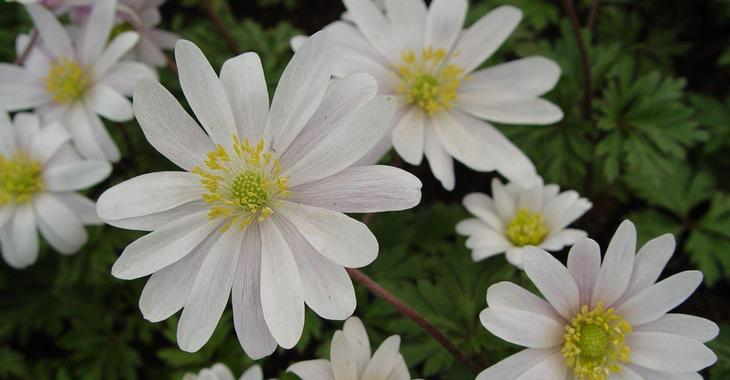 Anemone blanda 'White Splendour' LOS