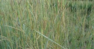 Andropogon gerardii JS® 'Yellow Arrow'
