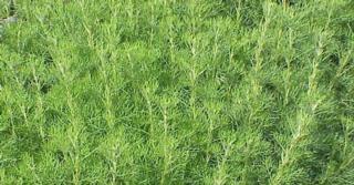 Artemisia abrotanum (CITROENKRUID)