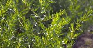 Artemisia dracunculus (DRAGON)