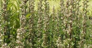 Artemisia vulgaris 'Obelisk'