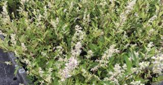 Artemisia lactiflora 'Weisse Dame'
