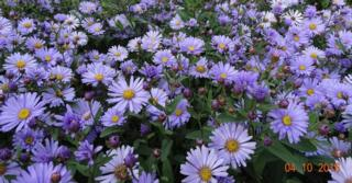 Aster 'JS Barts Blue Beauty' PBR