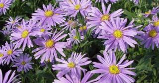 Aster amellus 'Blütendecke'
