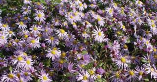 Aster JS® 'Eleven Purple' PBR