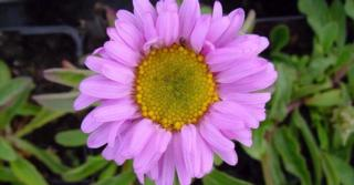 Aster alpinus 'Happy End'