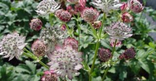 Astrantia major JS® 'Jitse'