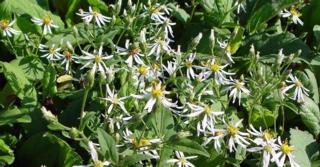 Aster macrophyllus 'Albus'