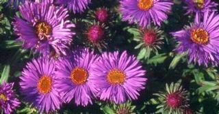 Aster novae-angliae 'Purple Dome'