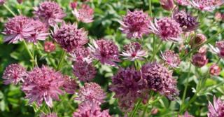 Astrantia major 'Roma' PBR