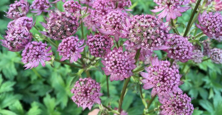 Astrantia major 'Star Of Beauty' PBR