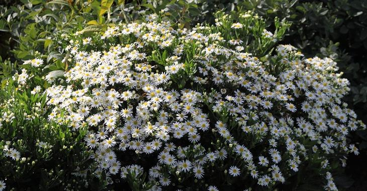 Aster ageratoides 'Starshine' PBR