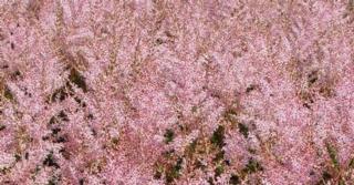 Astilbe simplicifolia 'Hennie Graafland'