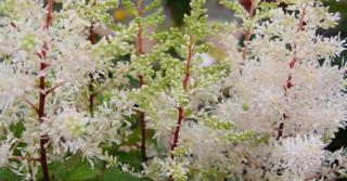 Astilbe arendsii 'Rock and Roll' PBR