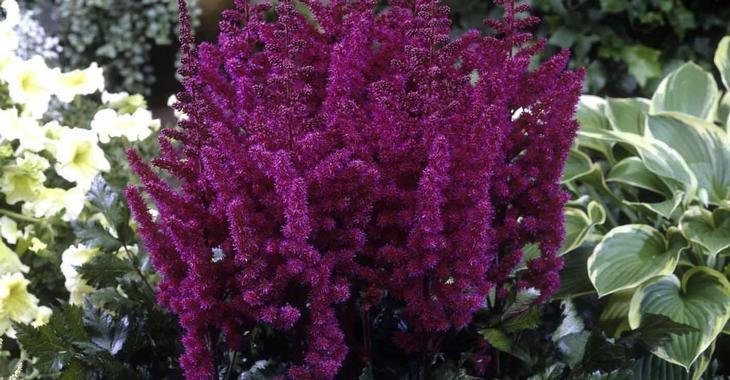 Astilbe chinensis 'Vision in Red' PBR
