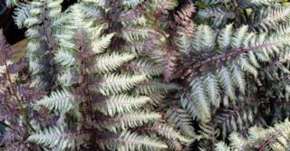 Athyrium niponicum 'Pewter Lace'