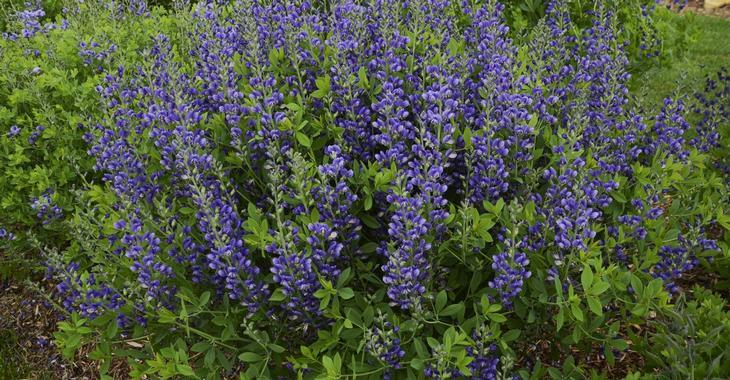 Baptisia DECADENCE® 'Blueberry Sundae'