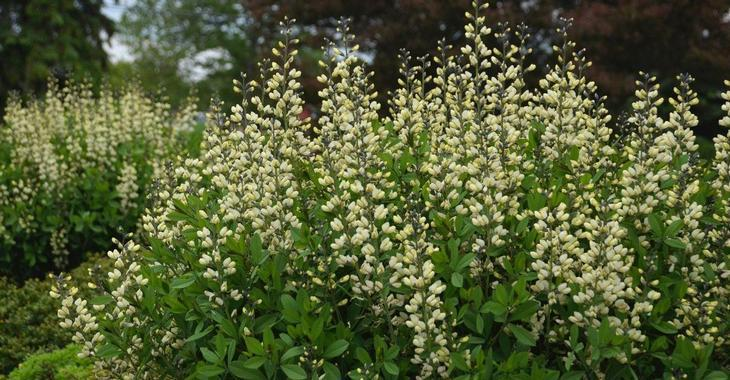 Baptisia australis DECADENCE® 'Vanilla Cream'