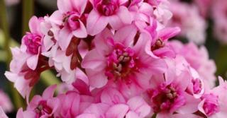 Bergenia DRAGONFLY ® 'Sakura'
