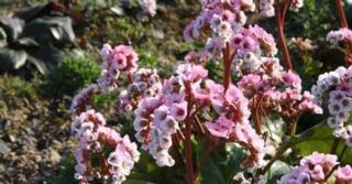Bergenia cordifolia 'Schneekönigin'