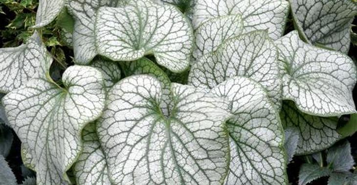 Brunnera macrophylla 'Alexander's Great'