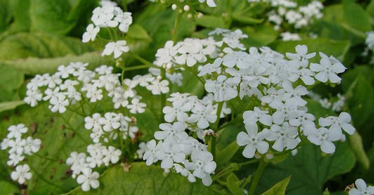 Brunnera macrophylla 'Betty Bowring'