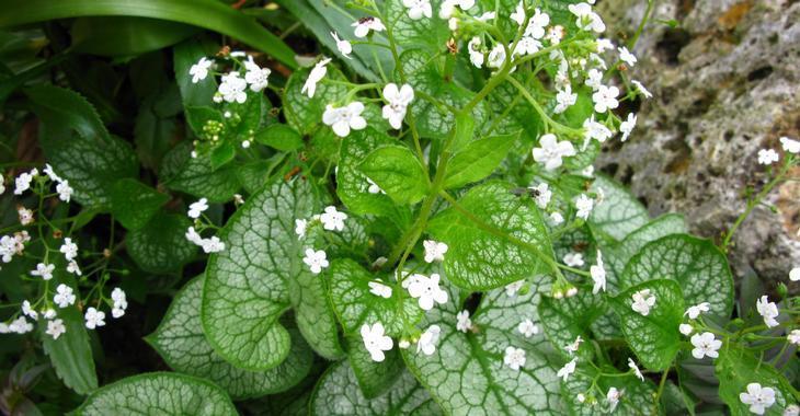 Brunnera macrophylla 'Mister Morse' PBR