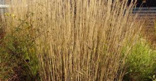 Calamagrostis acutiflora (x) 'Karl Foerster'