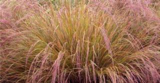 Calamagrostis arundinacea (=Anemanthele)