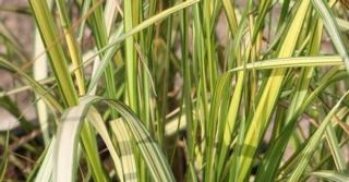 Calamagrostis acutiflora (x) 'England'