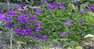 Campanula pulloides 'G.F.Wilson'