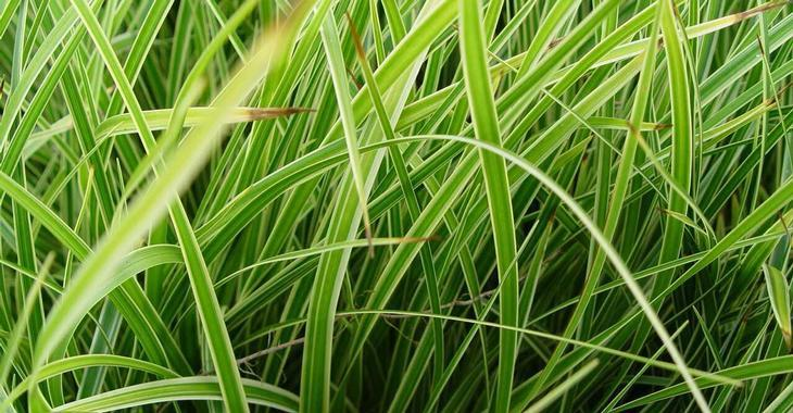 Carex oshimensis JS® 'Goldwell'